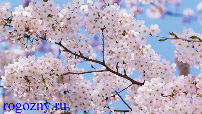 cvet-slivi